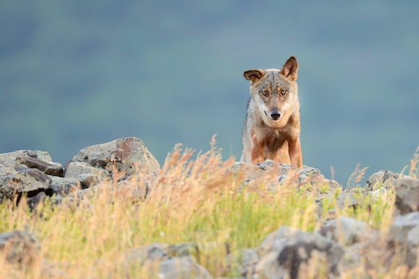 European Wolf (Canis lupus)
